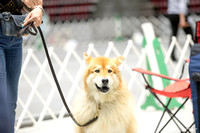 20160709 Obedience All American Dog