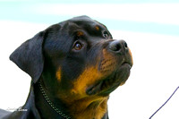 #24 Rottweilers Best of Breed Jan 14 2012 Winnegamie Dog Club
