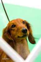 Longhaired Dachshunds Jan 14 2012 Winnegamie Dog Club