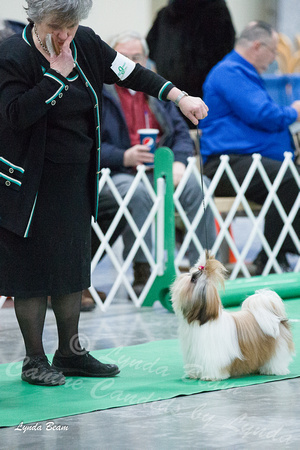 Shih Tzus - Chain O'Lakes Kennel Club, Grayslake, IL - 25 January 2013
