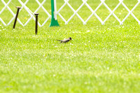 Dogshow 2017-06-04 untitled shoot--132726