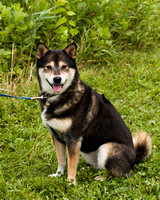 Photo Shoot 2017-08-20 MAD Shiba Picnic--131754
