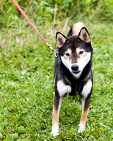 Photo Shoot 2017-08-20 MAD Shiba Picnic--131857-2