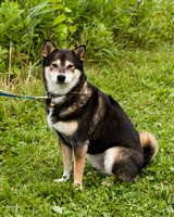Photo Shoot 2017-08-20 MAD Shiba Picnic--131742-2