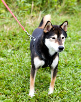Photo Shoot 2017-08-20 MAD Shiba Picnic--131856-2