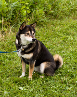 Photo Shoot 2017-08-20 MAD Shiba Picnic--131809