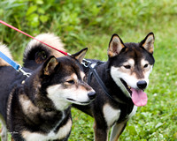 Photo Shoot 2017-08-20 MAD Shiba Picnic--131826