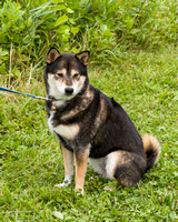 Photo Shoot 2017-08-20 MAD Shiba Picnic--131741